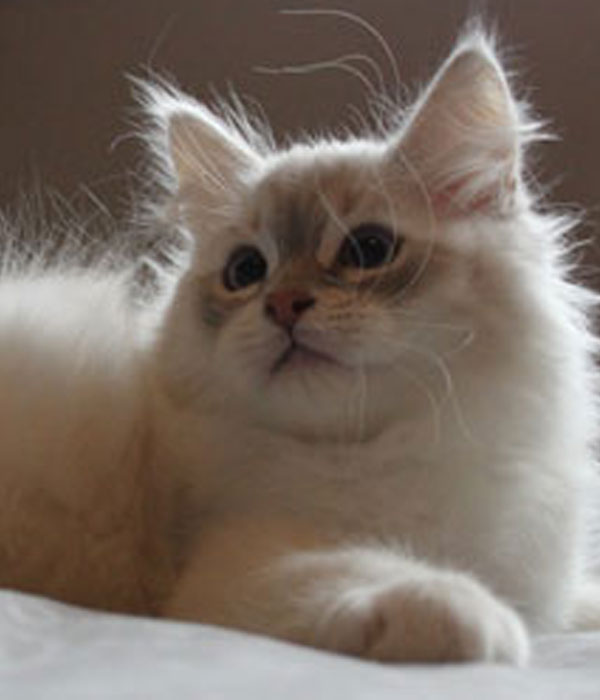 blue golden point Siberian kitten
