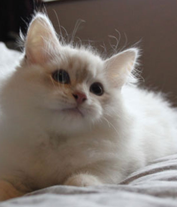 golden point Siberian kitten